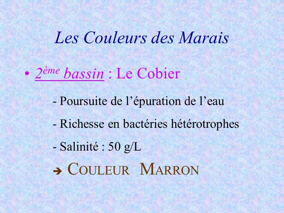 Les Couleurs des Marais 2 ème bassin : Le Cobier -Poursuite de lépuration de leau -Richesse en bactéries hétérotrophes -Salinité : 50 g/L C OULEUR M A
