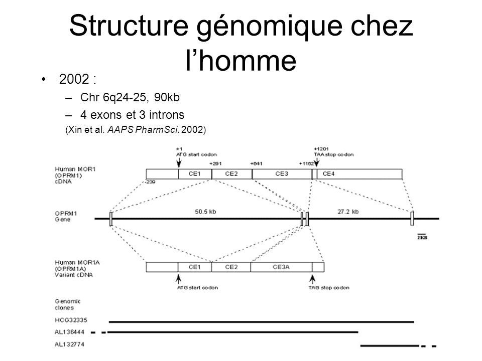 Structure génomique chez lhomme 2002 : –Chr 6q24-25, 90kb –4 exons et 3 introns (Xin et al. AAPS PharmSci. 2002)