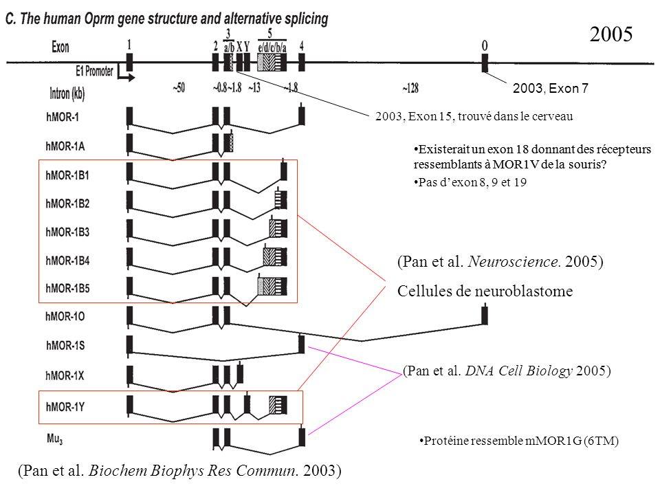 2005 2003, Exon 15, trouvé dans le cerveau Existerait un exon 18 donnant des récepteurs ressemblants à MOR1V de la souris? Pas dexon 8, 9 et 19 Existe