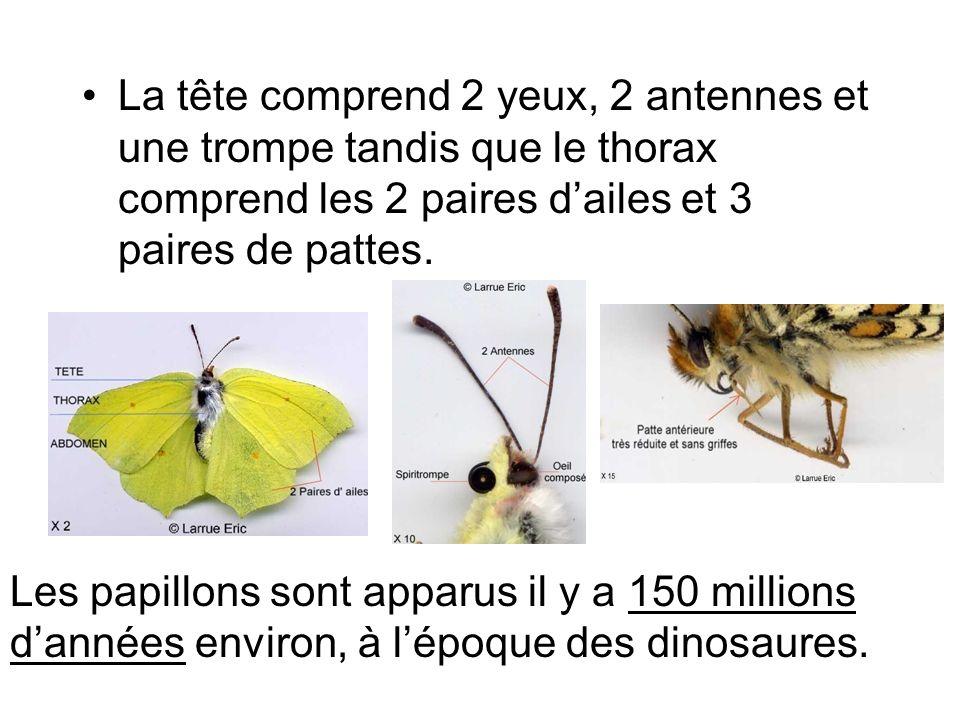 La tête comprend 2 yeux, 2 antennes et une trompe tandis que le thorax comprend les 2 paires dailes et 3 paires de pattes. Les papillons sont apparus