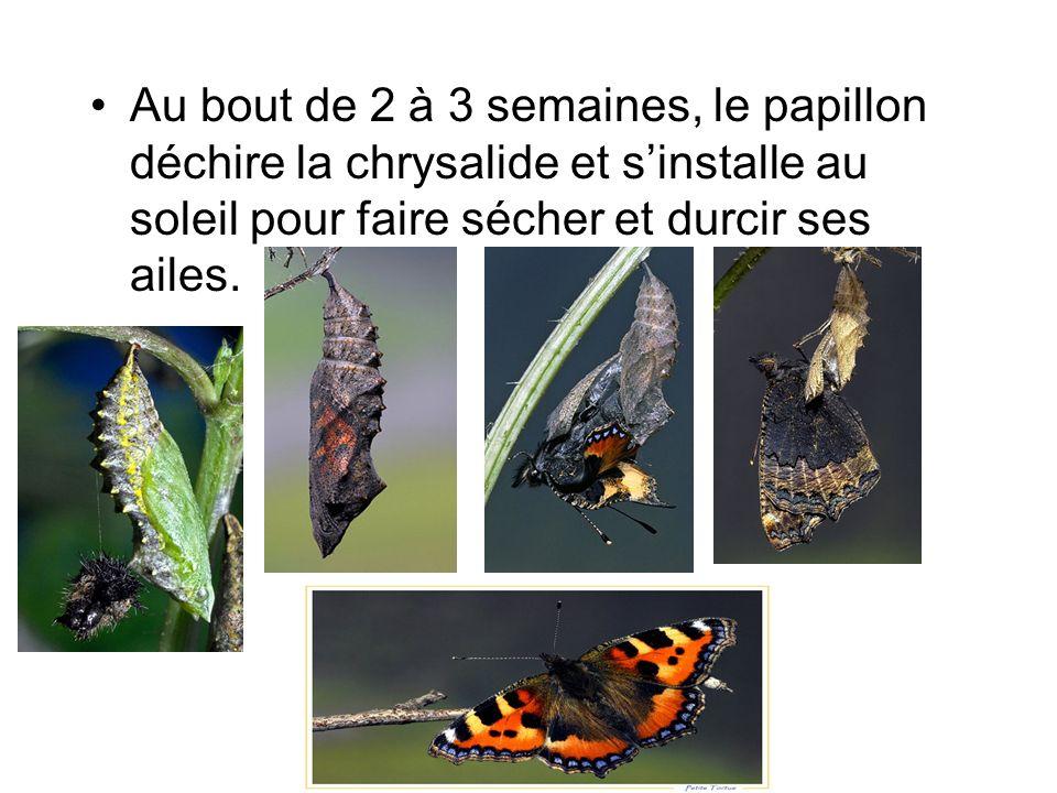 Au bout de 2 à 3 semaines, le papillon déchire la chrysalide et sinstalle au soleil pour faire sécher et durcir ses ailes.