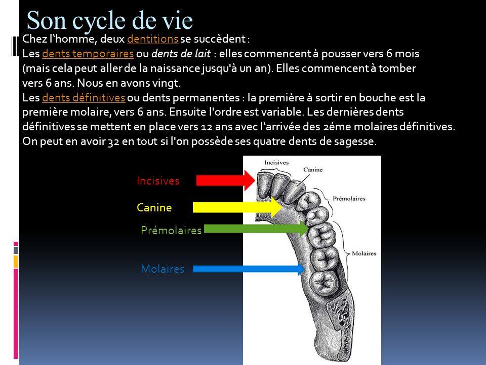 Son cycle de vie Chez lhomme, deux dentitions se succèdent :dentitions Les dents temporaires ou dents de lait : elles commencent à pousser vers 6 mois