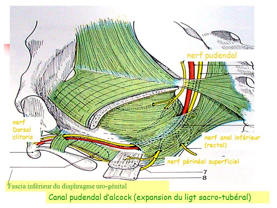 nerf pudendal nerf périnéal superficiel nerf Dorsal clitoris Fascia inférieur du diaphragme uro-génital nerf anal inférieur (rectal) Canal pudendal dalcock (expansion du ligt sacro-tubéral)