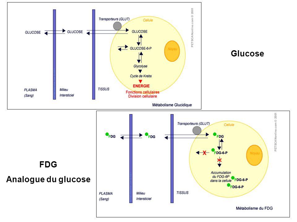FDG Analogue du glucose Glucose