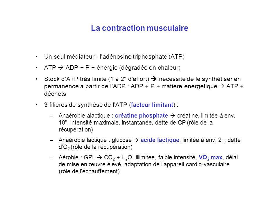 La contraction musculaire Un seul médiateur : ladénosine triphosphate (ATP) ATP ADP + P + énergie (dégradée en chaleur) Stock dATP très limité (1 à 2
