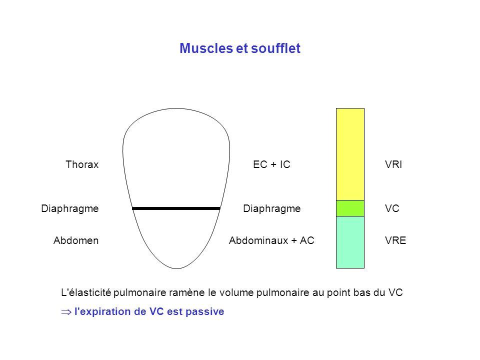 Muscles et soufflet Thorax Diaphragme Abdomen EC + IC Diaphragme Abdominaux + AC VRI VC VRE L'élasticité pulmonaire ramène le volume pulmonaire au poi