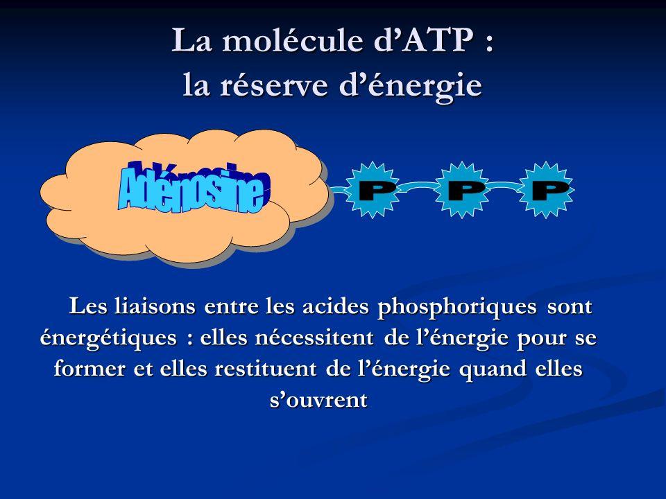 La molécule dATP : la réserve dénergie Les liaisons entre les acides phosphoriques sont énergétiques : elles nécessitent de lénergie pour se former et