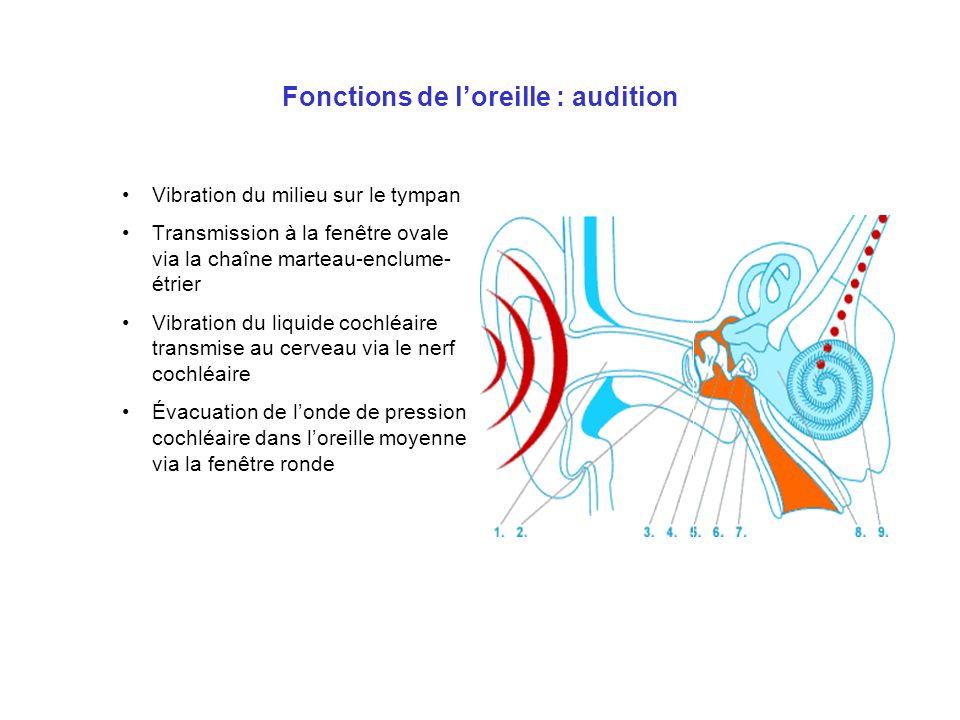 Fonctions de loreille : audition Vibration du milieu sur le tympan Transmission à la fenêtre ovale via la chaîne marteau-enclume- étrier Vibration du