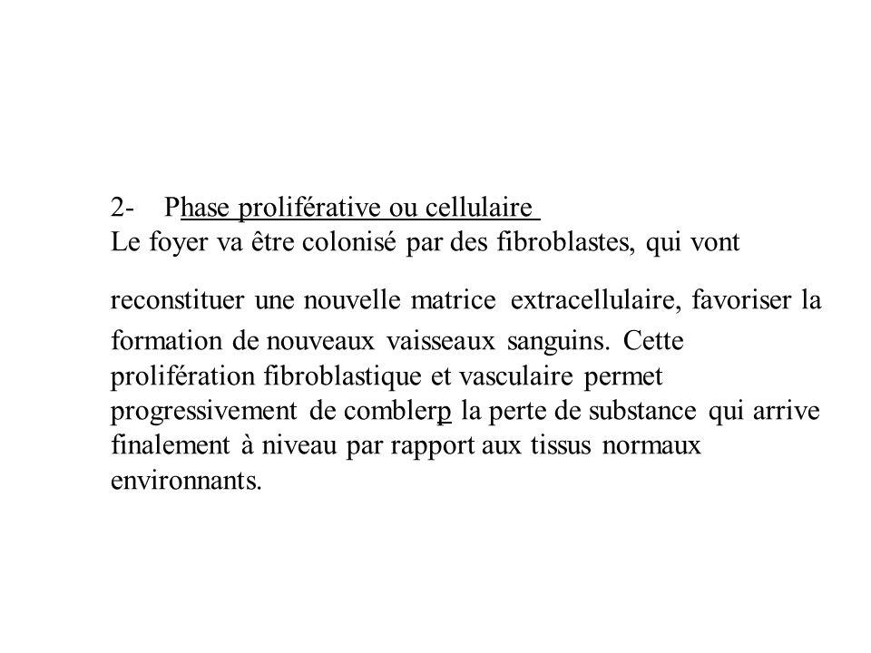 2- Phase proliférative ou cellulaire Le foyer va être colonisé par des fibroblastes, qui vont reconstituer une nouvelle matrice extracellulaire, favor