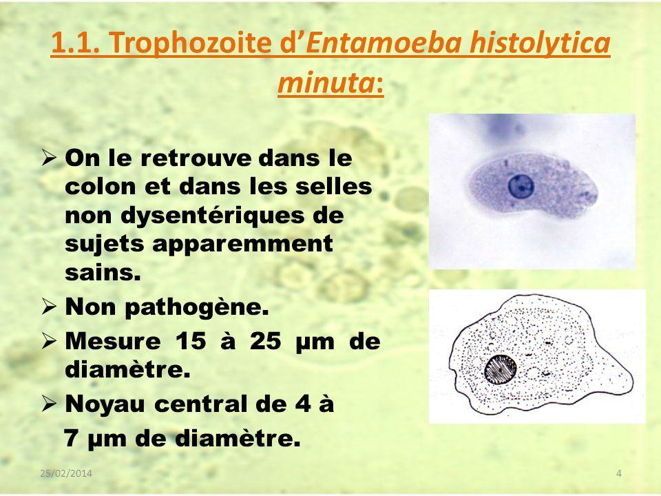 1.1. Trophozoite dEntamoeba histolytica minuta: On le retrouve dans le colon et dans les selles non dysentériques de sujets apparemment sains. Non pat