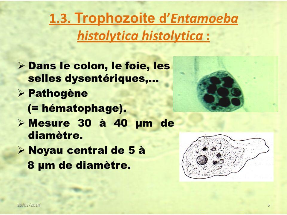 1.3. Trophozoite dEntamoeba histolytica histolytica : Dans le colon, le foie, les selles dysentériques,… Pathogène (= hématophage). Mesure 30 à 40 µm