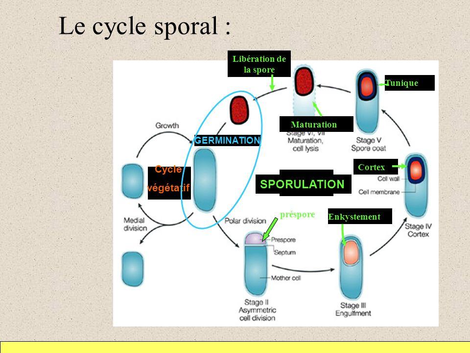 Le cycle sporal : SPORULATION Cycle végétatif préspore Cortex Tunique GERMINATION Libération de la spore Maturation Enkystement