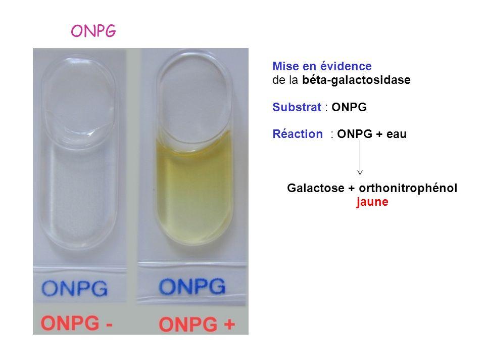 ONPG Mise en évidence de la béta-galactosidase Substrat : ONPG Réaction : ONPG + eau Galactose + orthonitrophénol jaune