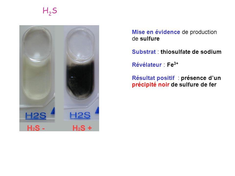 Mise en évidence de production de sulfure Substrat : thiosulfate de sodium Révélateur : Fe 3+ Résultat positif : présence dun précipité noir de sulfur