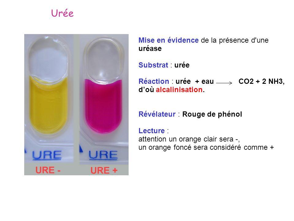 Mise en évidence de la présence d'une uréase Substrat : urée Réaction : urée + eau CO2 + 2 NH3, doù alcalinisation. Révélateur : Rouge de phénol Lectu