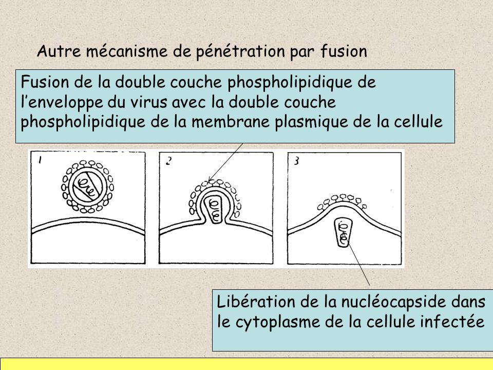 Autre mécanisme de pénétration par fusion Fusion de la double couche phospholipidique de lenveloppe du virus avec la double couche phospholipidique de