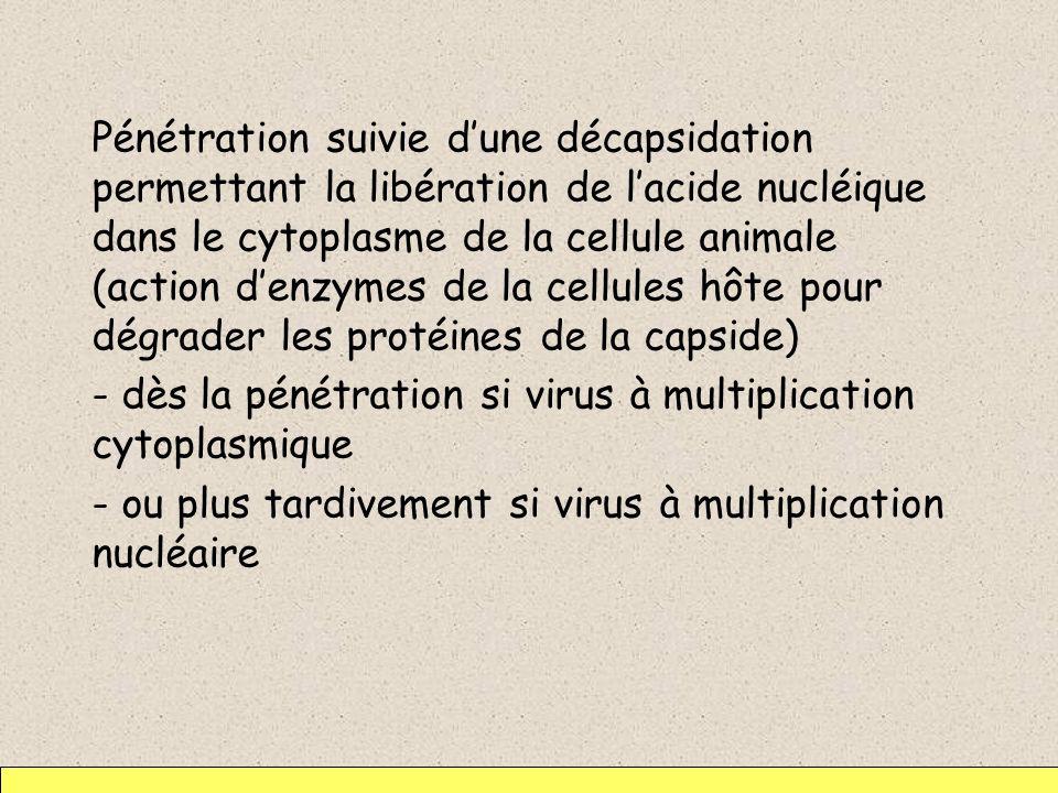 Pénétration suivie dune décapsidation permettant la libération de lacide nucléique dans le cytoplasme de la cellule animale (action denzymes de la cel