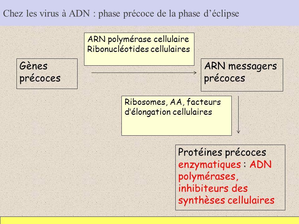 Chez les virus à ADN : phase précoce de la phase déclipse Gènes précoces ARN messagers précoces ARN polymérase cellulaire Ribonucléotides cellulaires