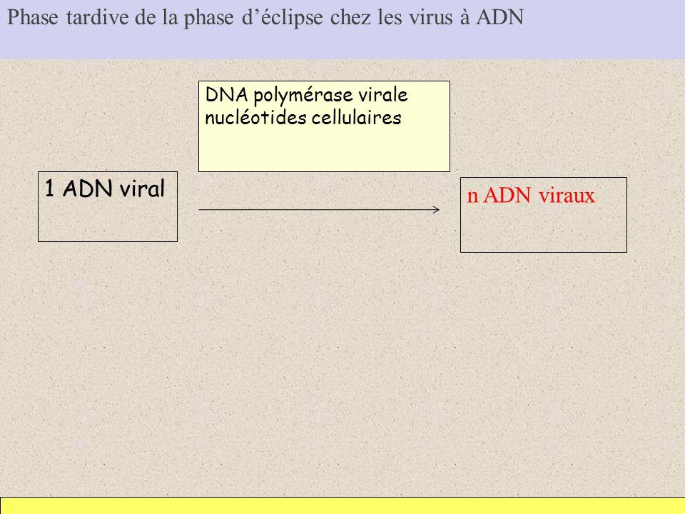 Phase tardive de la phase déclipse chez les virus à ADN 1 ADN viral n ADN viraux DNA polymérase virale nucléotides cellulaires