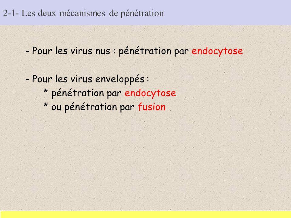 2-1- Les deux mécanismes de pénétration - Pour les virus nus : pénétration par endocytose - Pour les virus enveloppés : * pénétration par endocytose *