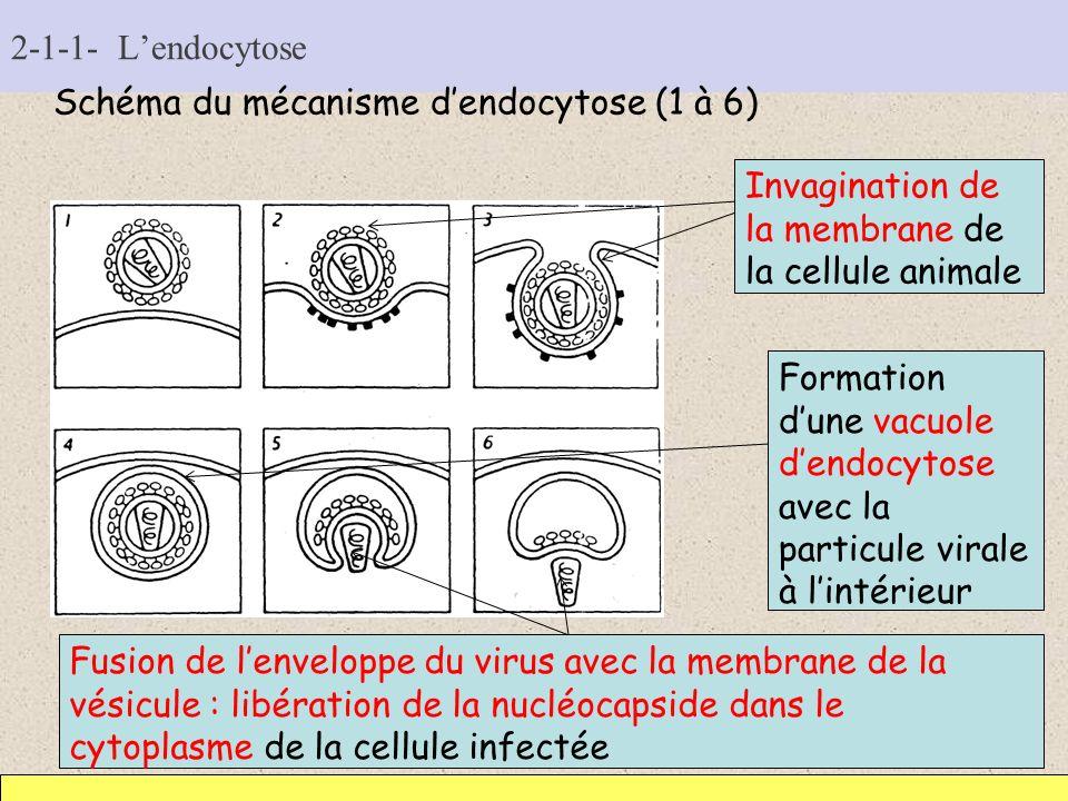 2-1-1- Lendocytose Schéma du mécanisme dendocytose (1 à 6) Invagination de la membrane de la cellule animale Formation dune vacuole dendocytose avec l