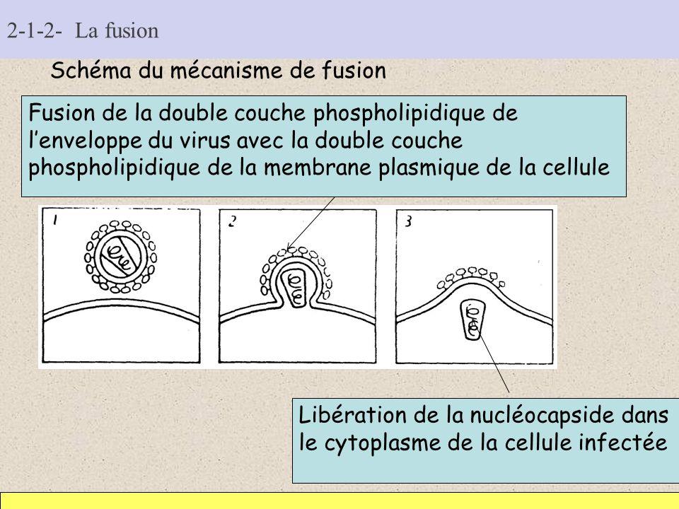 2-1-2- La fusion Schéma du mécanisme de fusion Fusion de la double couche phospholipidique de lenveloppe du virus avec la double couche phospholipidiq