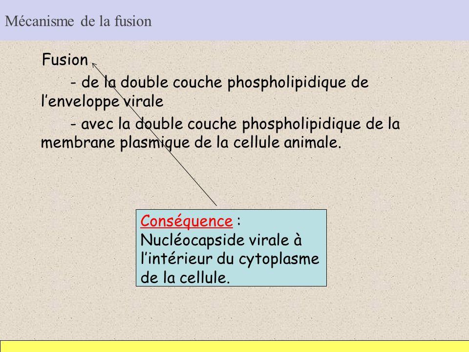 Mécanisme de la fusion Fusion - de la double couche phospholipidique de lenveloppe virale - avec la double couche phospholipidique de la membrane plas
