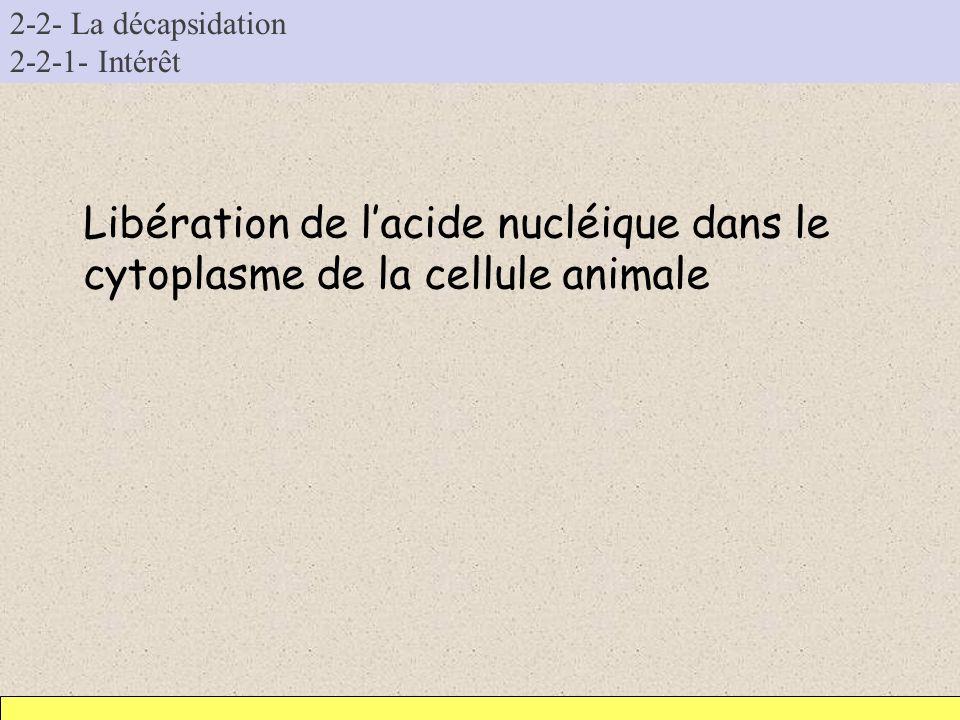 2-2- La décapsidation 2-2-1- Intérêt Libération de lacide nucléique dans le cytoplasme de la cellule animale