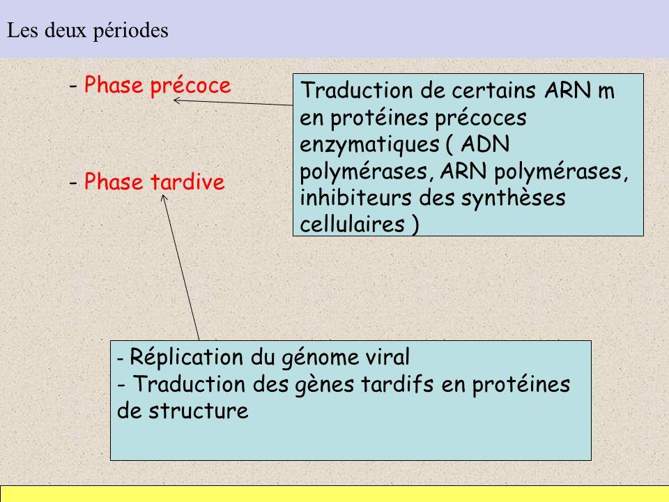 Les deux périodes - Phase précoce - Phase tardive Traduction de certains ARN m en protéines précoces enzymatiques ( ADN polymérases, ARN polymérases,