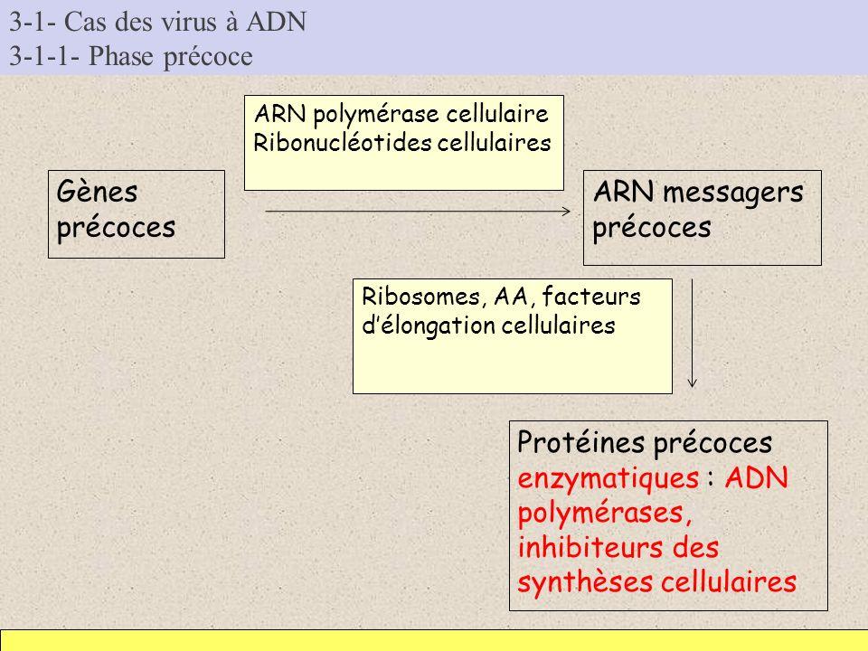 3-1- Cas des virus à ADN 3-1-1- Phase précoce Gènes précoces ARN messagers précoces ARN polymérase cellulaire Ribonucléotides cellulaires Protéines pr