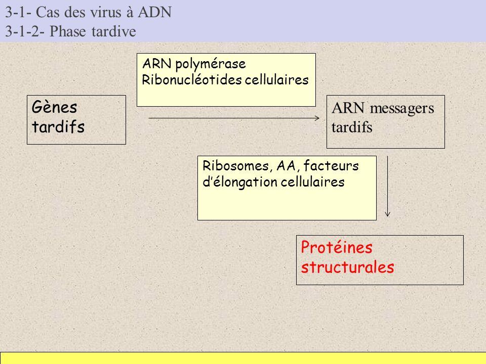 3-1- Cas des virus à ADN 3-1-2- Phase tardive Gènes tardifs ARN messagers tardifs ARN polymérase Ribonucléotides cellulaires Protéines structurales Ri