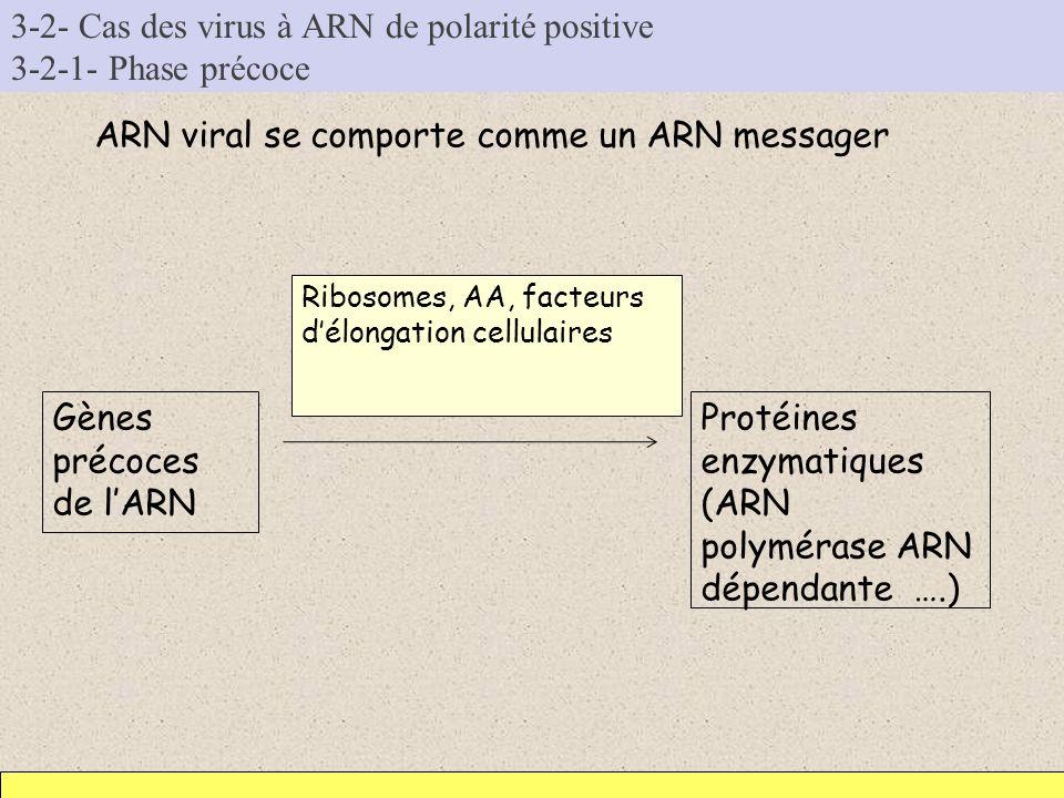 3-2- Cas des virus à ARN de polarité positive 3-2-1- Phase précoce ARN viral se comporte comme un ARN messager Gènes précoces de lARN Protéines enzyma