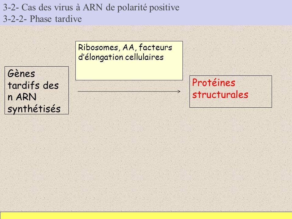 3-2- Cas des virus à ARN de polarité positive 3-2-2- Phase tardive Gènes tardifs des n ARN synthétisés Protéines structurales Ribosomes, AA, facteurs