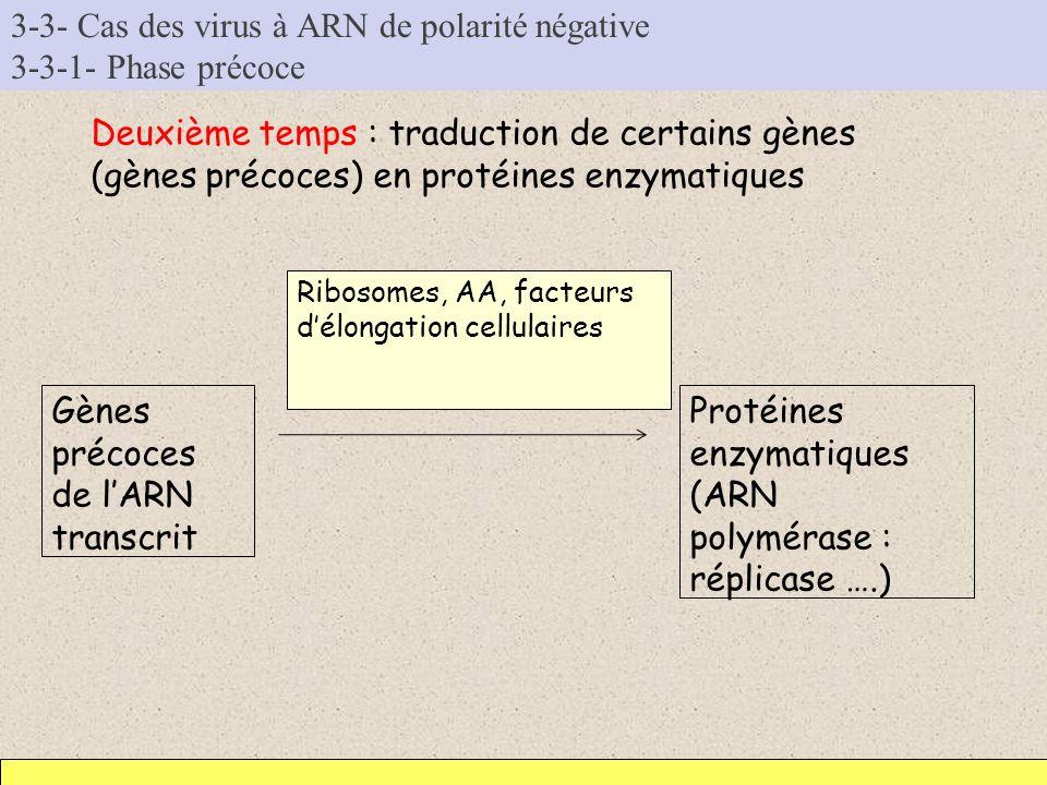 3-3- Cas des virus à ARN de polarité négative 3-3-1- Phase précoce Deuxième temps : traduction de certains gènes (gènes précoces) en protéines enzymat