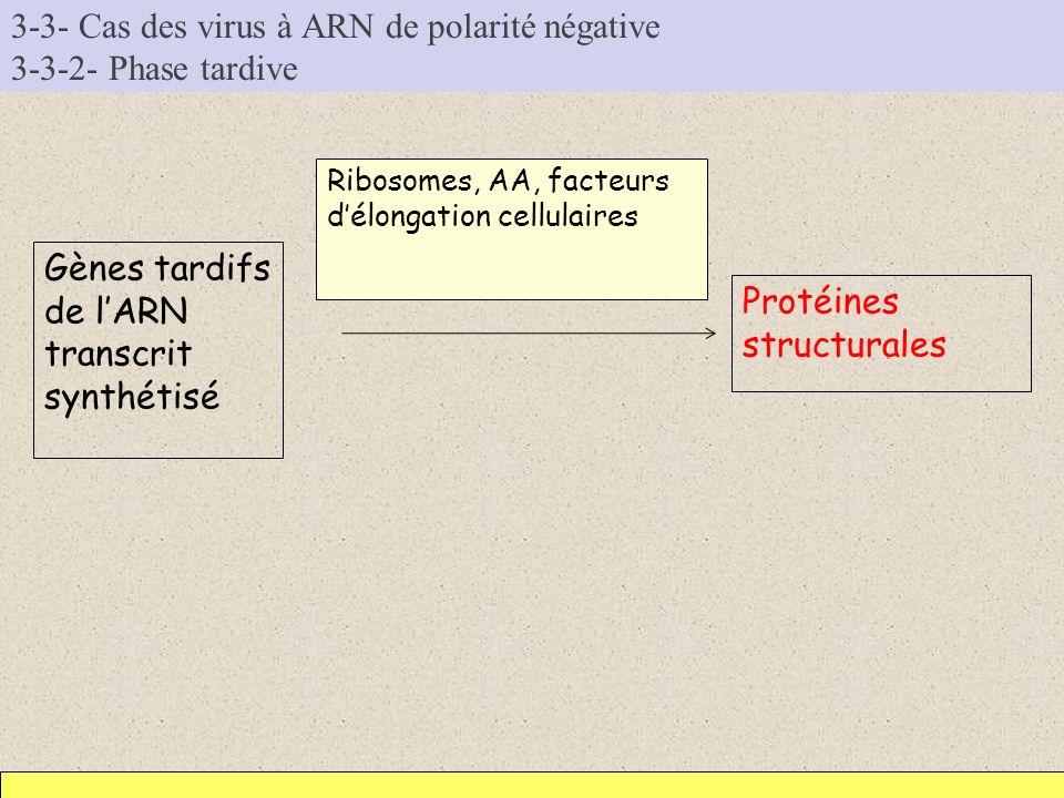 3-3- Cas des virus à ARN de polarité négative 3-3-2- Phase tardive Gènes tardifs de lARN transcrit synthétisé Protéines structurales Ribosomes, AA, fa
