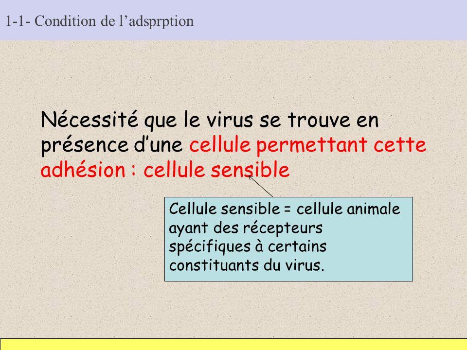 1-1- Condition de ladsprption Nécessité que le virus se trouve en présence dune cellule permettant cette adhésion : cellule sensible Cellule sensible