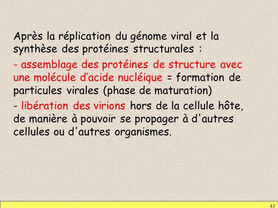 Après la réplication du génome viral et la synthèse des protéines structurales : - assemblage des protéines de structure avec une molécule dacide nucl