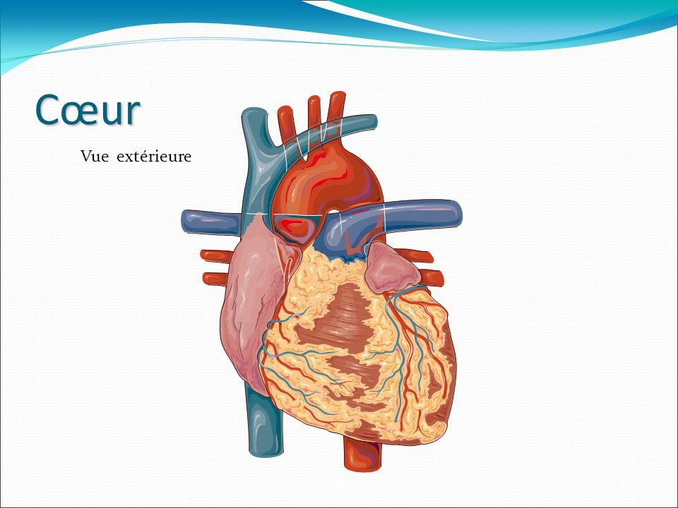Fonctionnement du cœur Le cœur est un muscle animé par un circuit électrique, ce qui permet de pomper le sang qui irrigue tout notre corps.