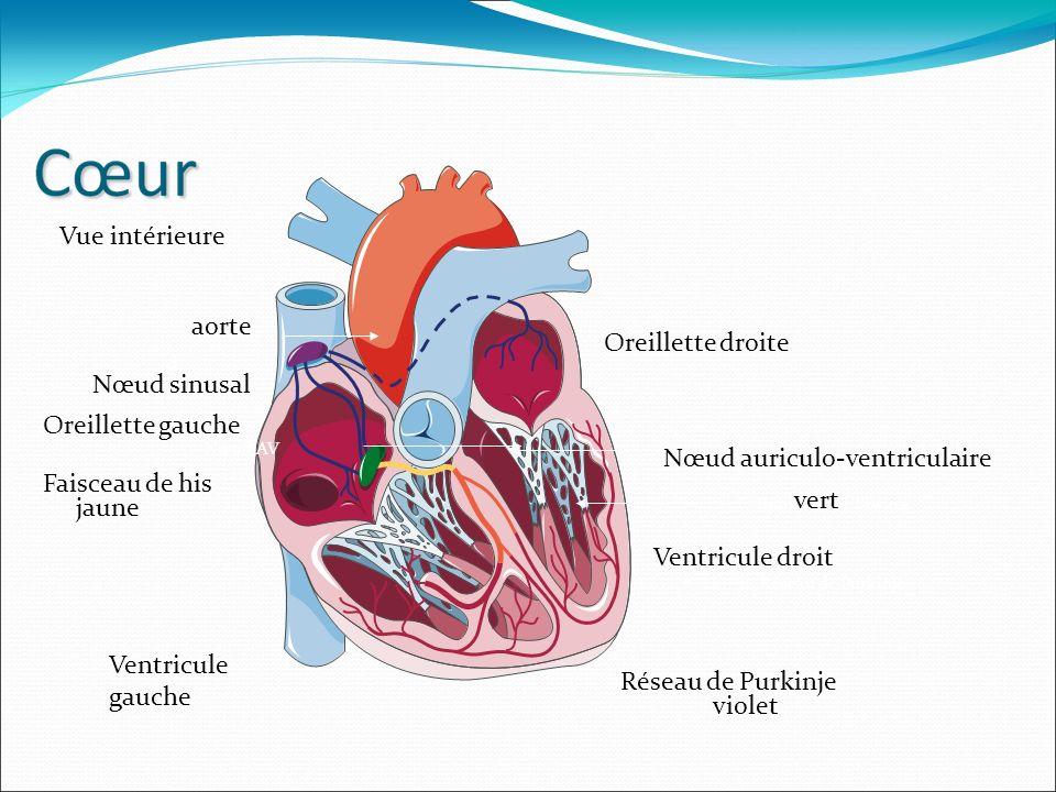 d Nœud AV Faisceau de His Branches de Tawara Réseau de Purkinje aorte Oreillette gauche Oreillette droite Ventricule droit Nœud sinusal Nœud auriculo-