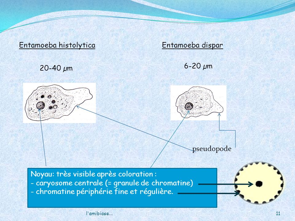 11l'amibiase... Entamoeba histolyticaEntamoeba dispar Noyau: très visible après coloration : - caryosome centrale (= granule de chromatine) - chromati