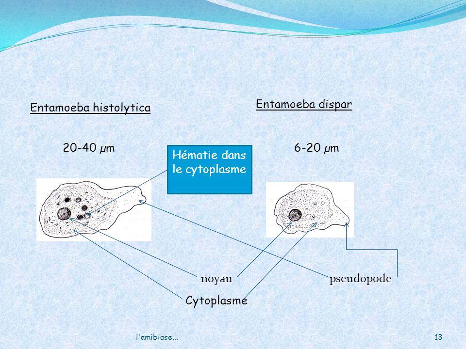 13l'amibiase... Entamoeba histolytica Entamoeba dispar noyaupseudopode 20-40 µm6-20 µm Hématie dans le cytoplasme Cytoplasme