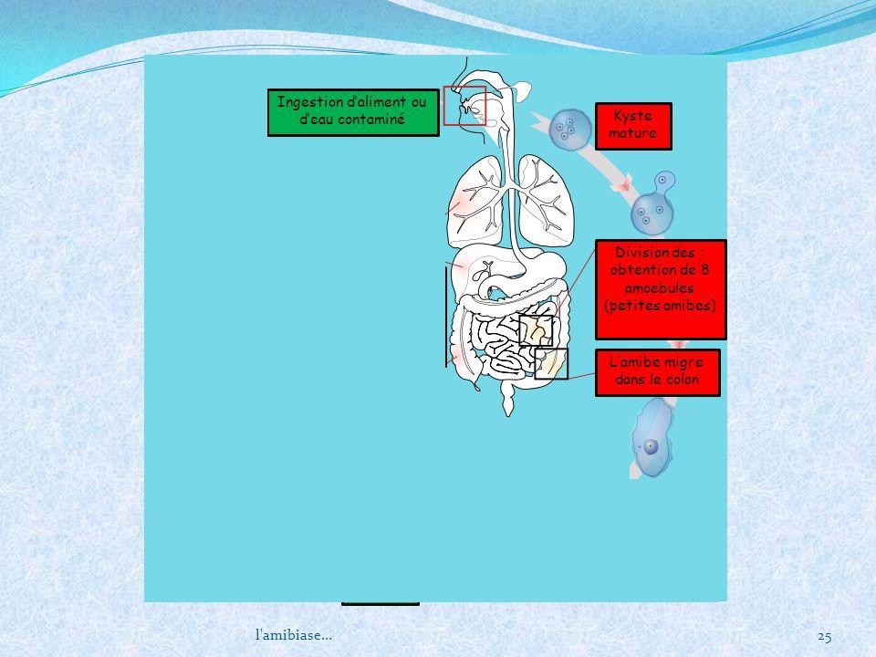 l'amibiase...25 Kyste mature Division des : obtention de 8 amoebules (petites amibes) Lamibe migre dans le colon Multiplication par sisciparité excisi