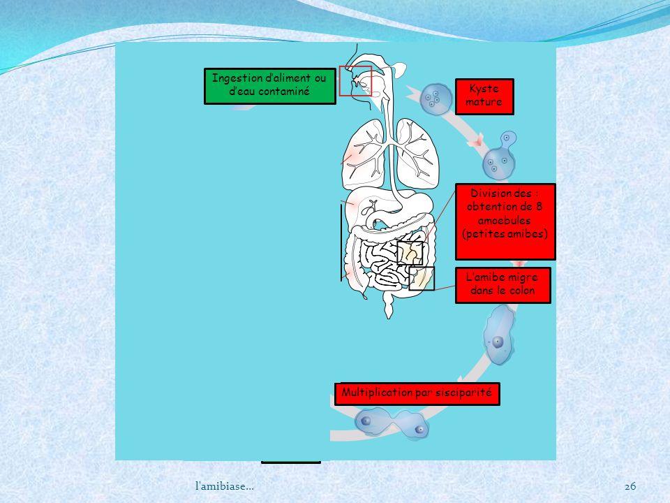 l'amibiase...26 Kyste mature Division des : obtention de 8 amoebules (petites amibes) Lamibe migre dans le colon Multiplication par sisciparité excisi
