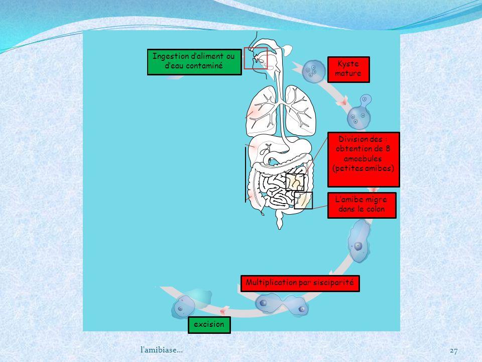 l'amibiase...27 Kyste mature Division des : obtention de 8 amoebules (petites amibes) Lamibe migre dans le colon Multiplication par sisciparité excisi