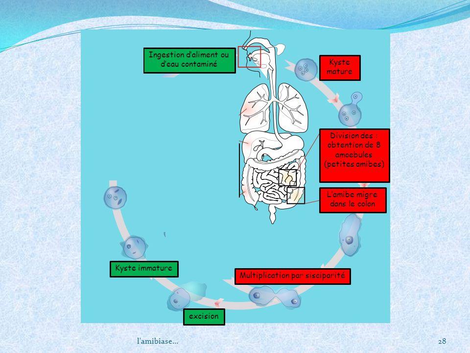 l'amibiase...28 Kyste mature Division des : obtention de 8 amoebules (petites amibes) Lamibe migre dans le colon Multiplication par sisciparité excisi