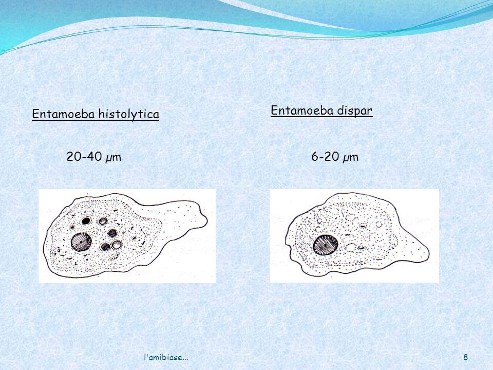 l amibiase...29 Kyste mature Division des : obtention de 8 amoebules (petites amibes) Lamibe migre dans le colon Multiplication par sisciparité excision Kyste mature à 4 noyaux Cycle dinfestation Les kyste sont éliminés dans les selles Ingestion daliment ou deau contaminé Cycle pathogène Invasion foie, poumon et cerveau via la circulation sanguine Kyste immature
