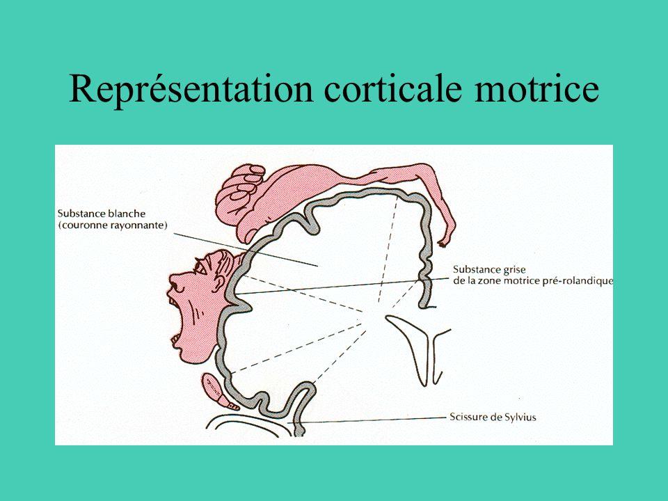 Représentation corticale motrice