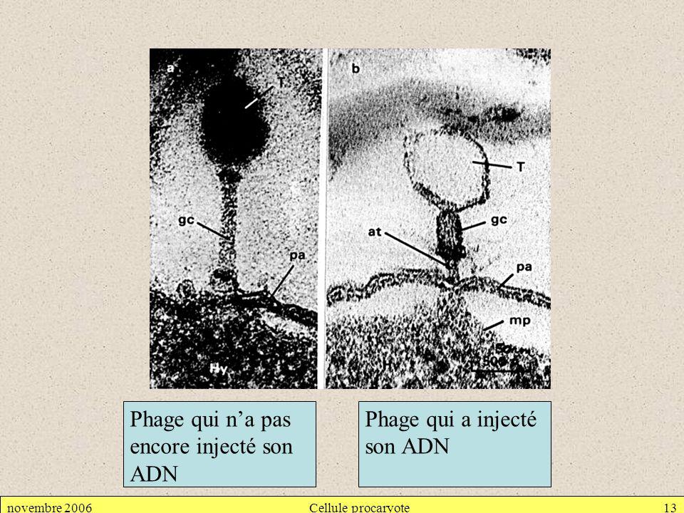 novembre 2006Cellule procaryote13 Phage qui na pas encore injecté son ADN Phage qui a injecté son ADN