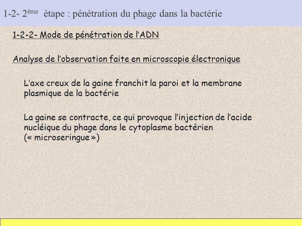1-2- 2 ème étape : pénétration du phage dans la bactérie 1-2-2- Mode de pénétration de lADN Analyse de lobservation faite en microscopie électronique