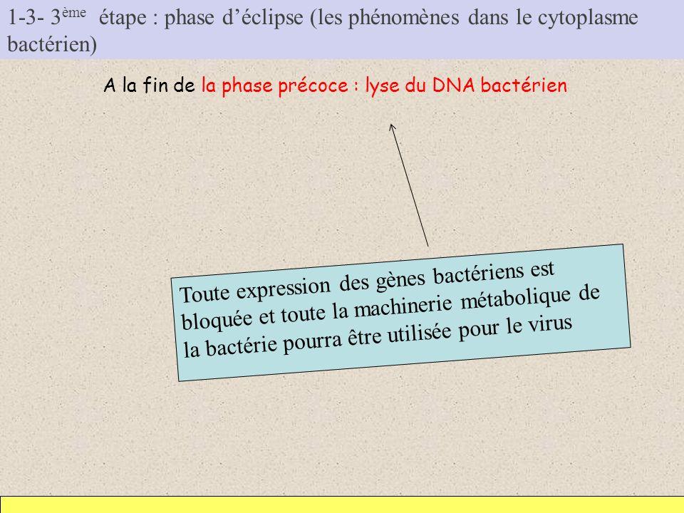 1-3- 3 ème étape : phase déclipse (les phénomènes dans le cytoplasme bactérien) A la fin de la phase précoce : lyse du DNA bactérien Toute expression